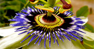 passion fruit Homepage